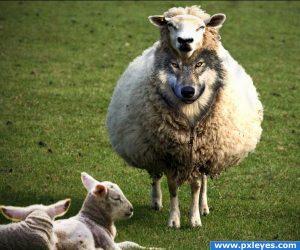 Sheep wolf skin